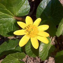 fiore giallo zunco