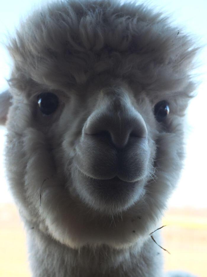 Fluffy Smiling Alpaca