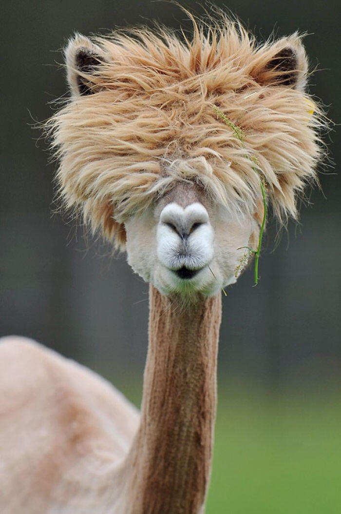 The Hairstyle Of This Alpaca