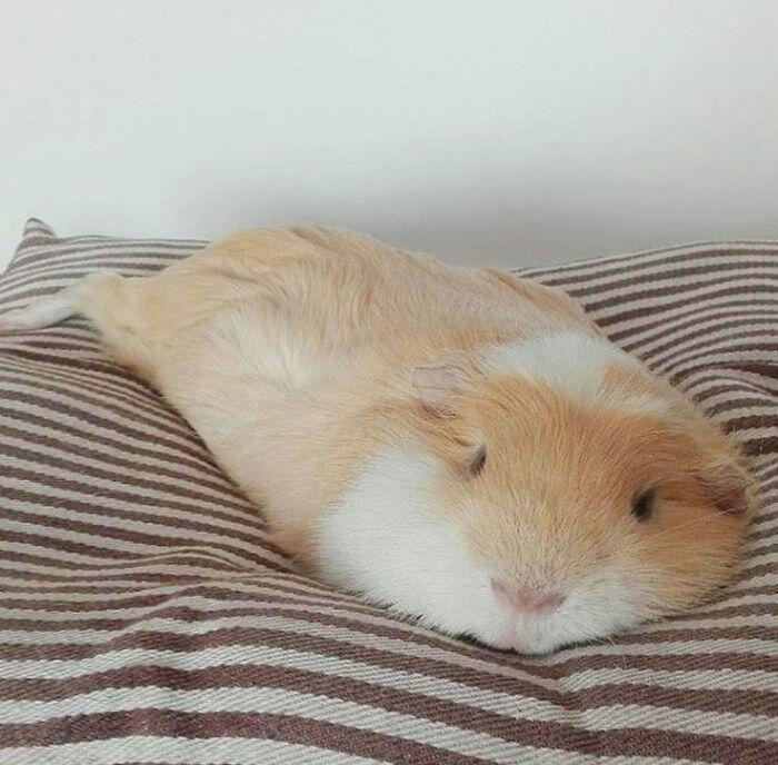 Guinea Pig Just Melted (my Heart)