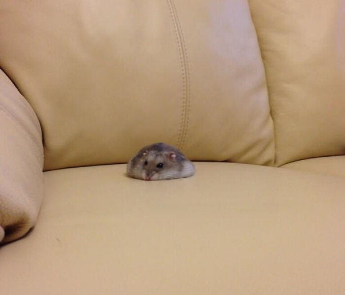 Someone Spilled Their Hamster On The Couch